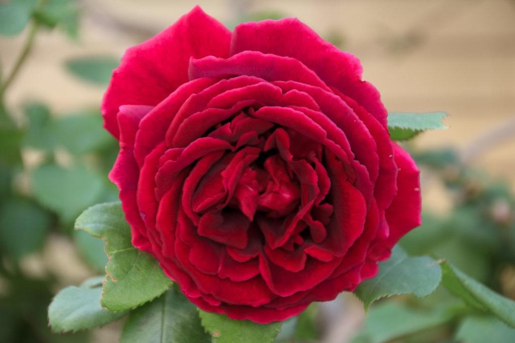baba_rose_2